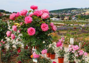 Rosenduft liegt in der Luft @ Rosenmuseum Steinfurth | Bad Nauheim | Hessen | Deutschland